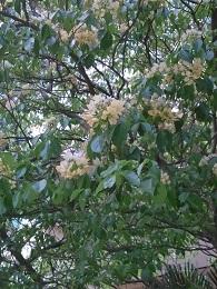 DSC_0077 (2)樹頭菜2017年4月