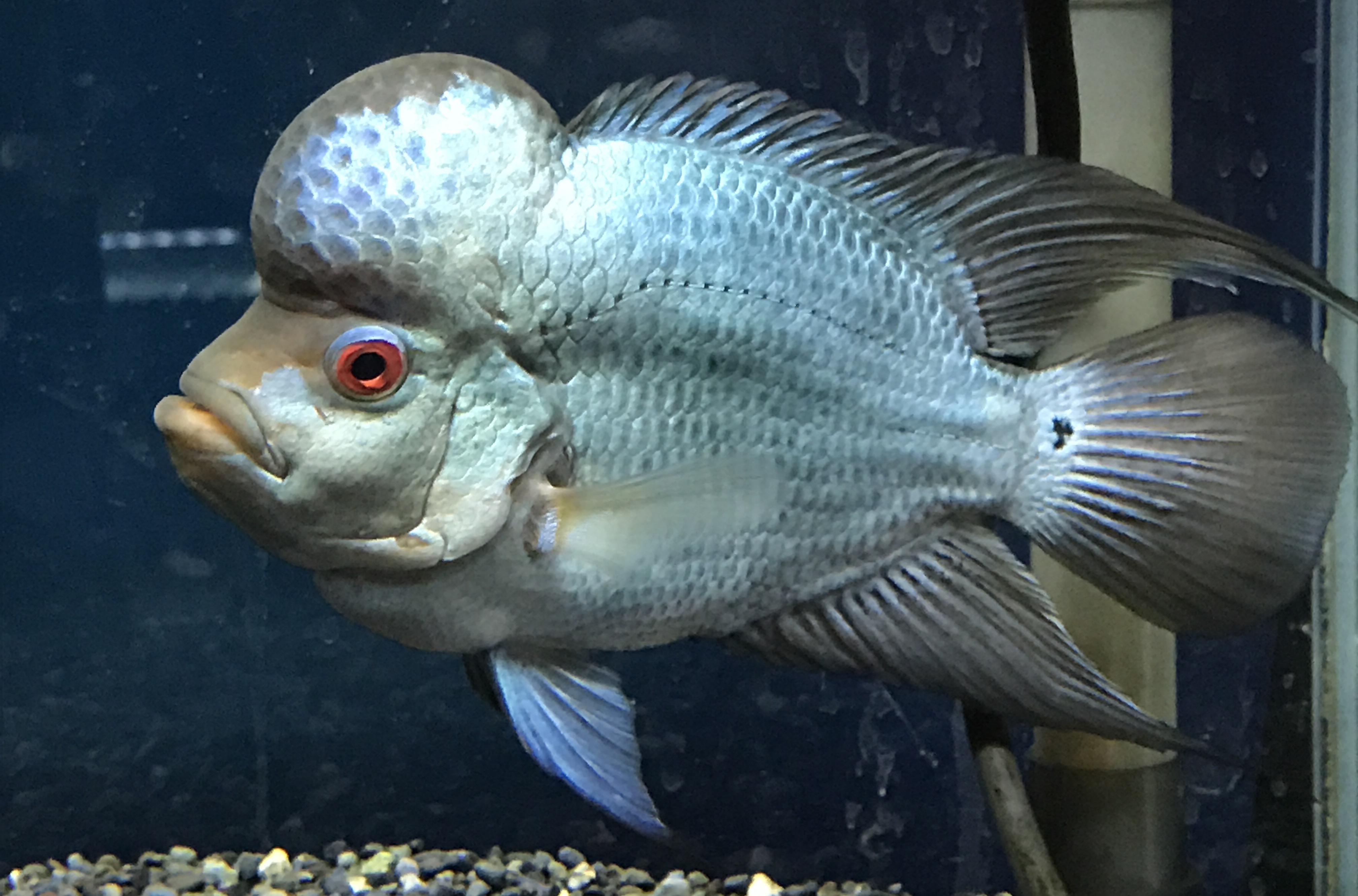熱帯魚入荷情報! - かねだい海老名店のブログ