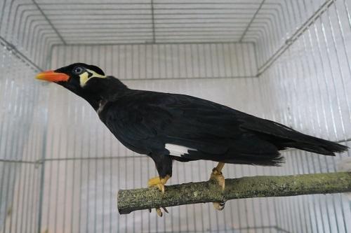 九官鳥0330 (2)