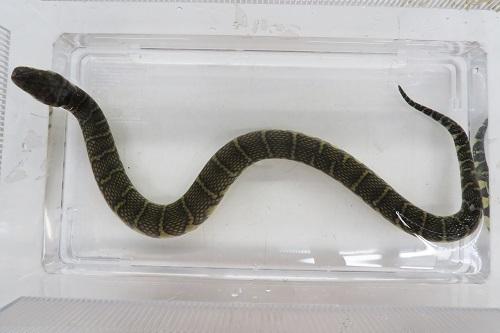 ミズヘビ2