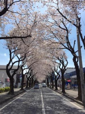 2017 4月桜