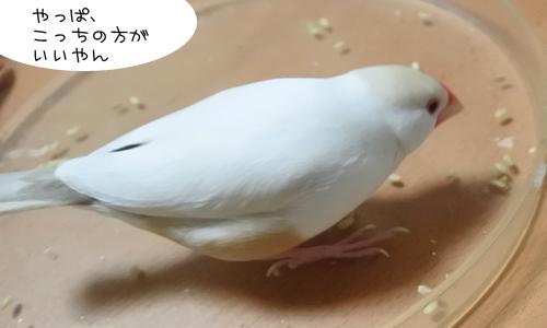 文鳥色々、食べ方も色々_5