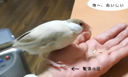 文鳥色々、食べ方も色々_1