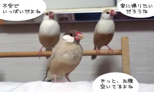 鉄腕ダッシュの文鳥_1