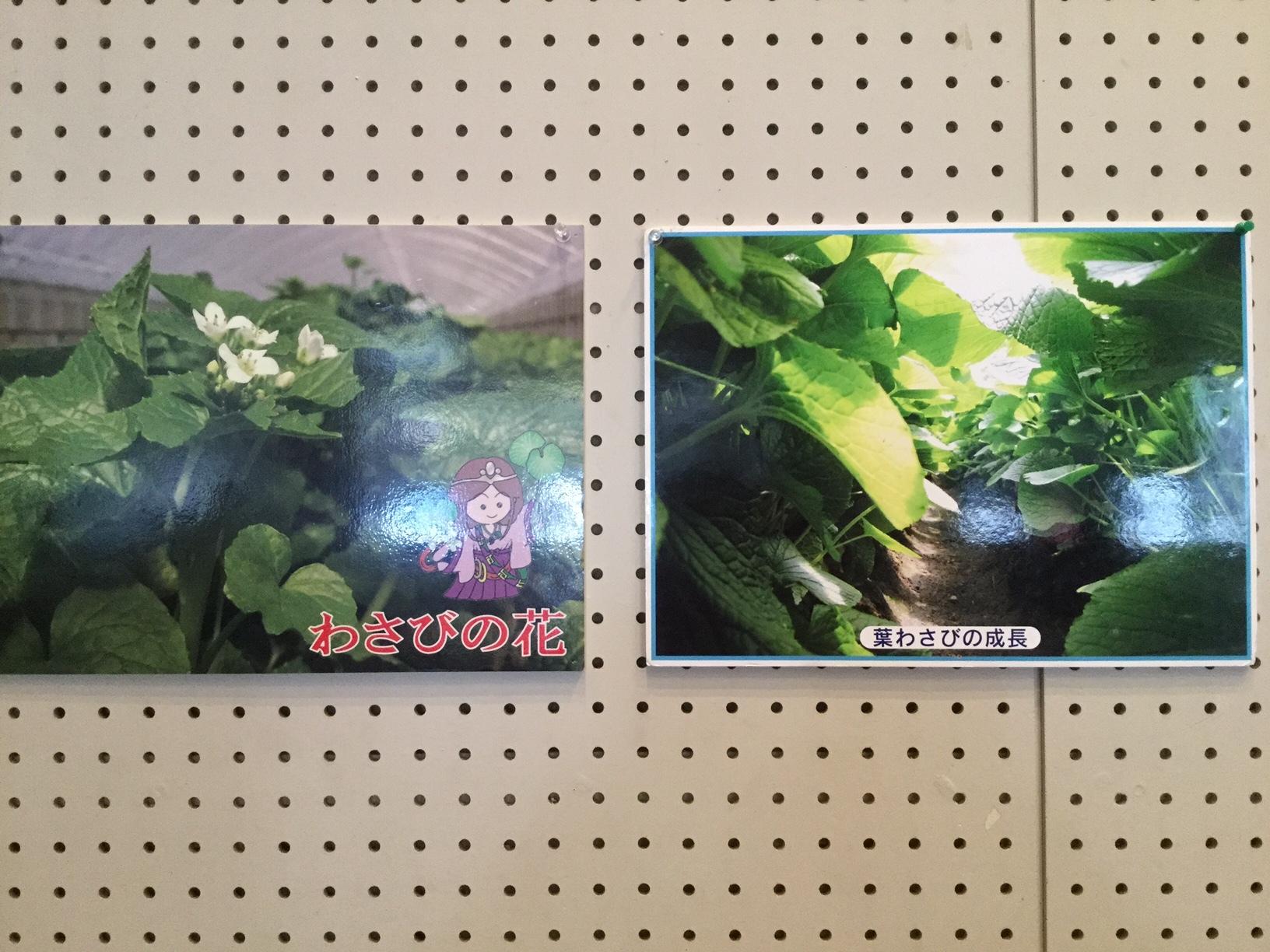 2017年3月4日 八女市矢部村花わさびの花と葉わさび成長