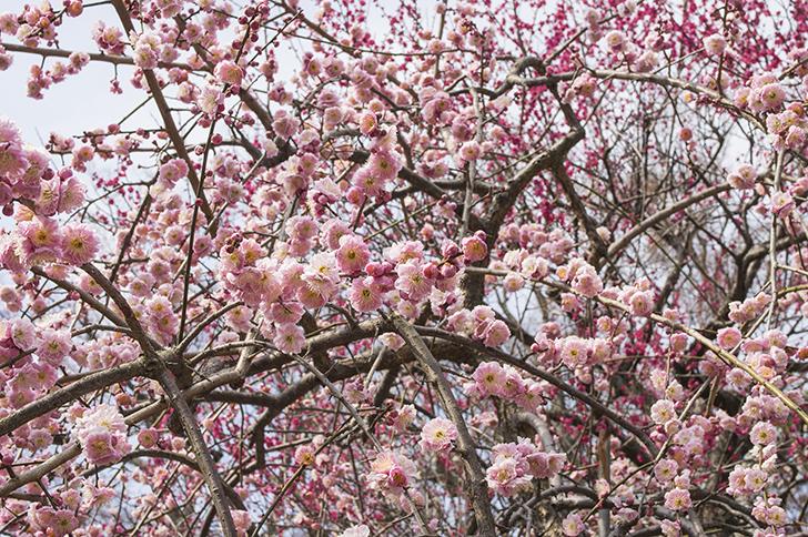 フリー写真(桃の花)