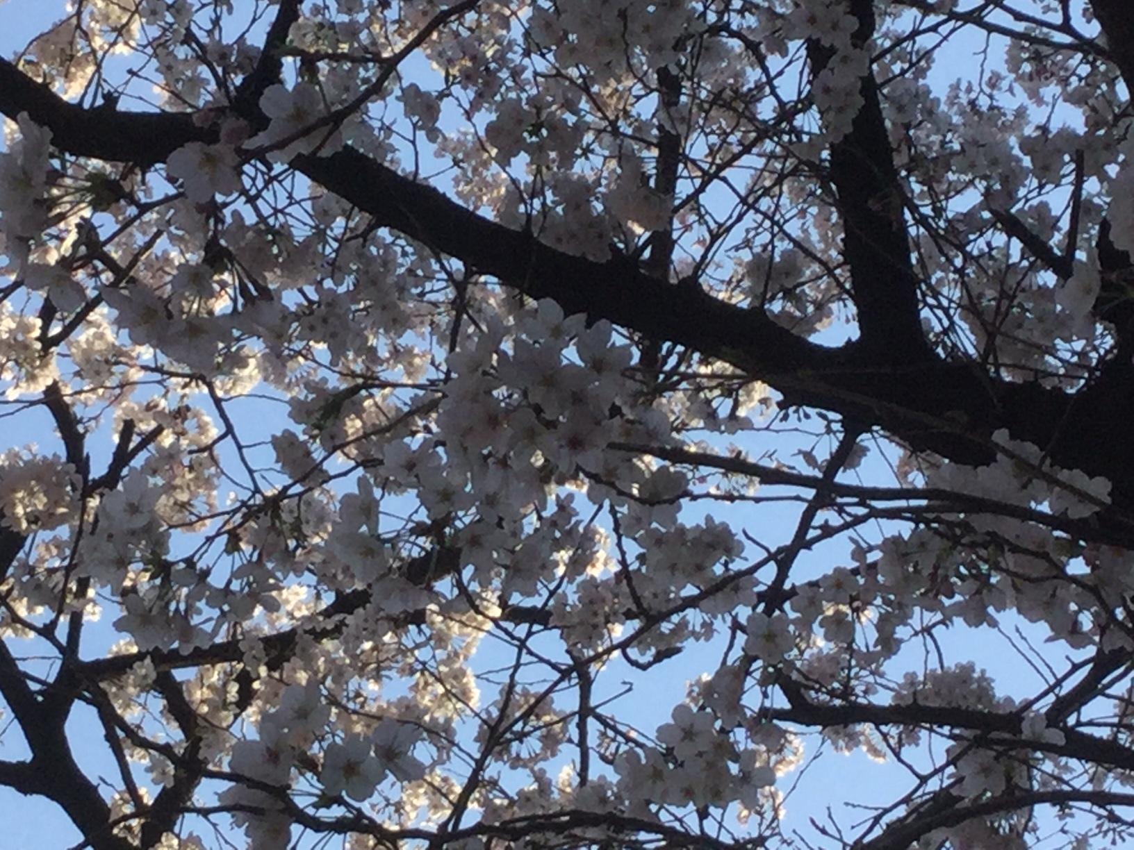 2017年4月4日赤坂観光道路の桜