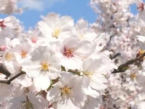 吉野瀬川 桜