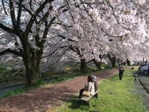 吉野瀬川 桜並木