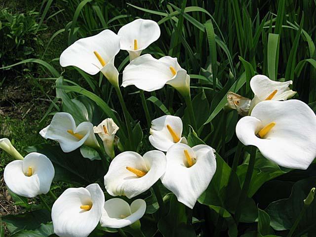 zc カラー 花