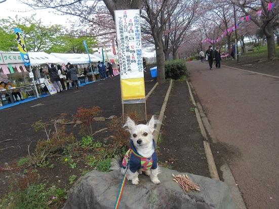 1M04 小松川桜まつり 0402