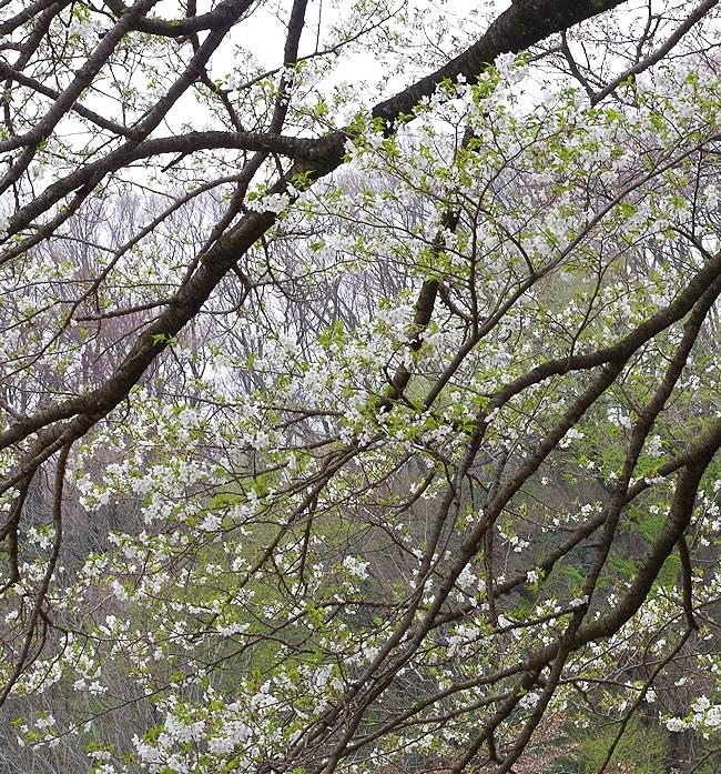 今年の桜 3