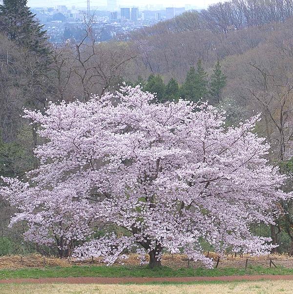 今年の桜 2