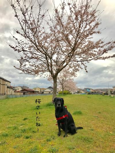 満開の桜とラブラドール
