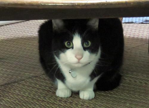 ちゃぶ台の下の猫