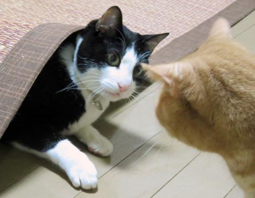 敷物から顔出す猫