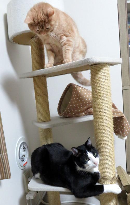 キャットタワーの上下の猫たち