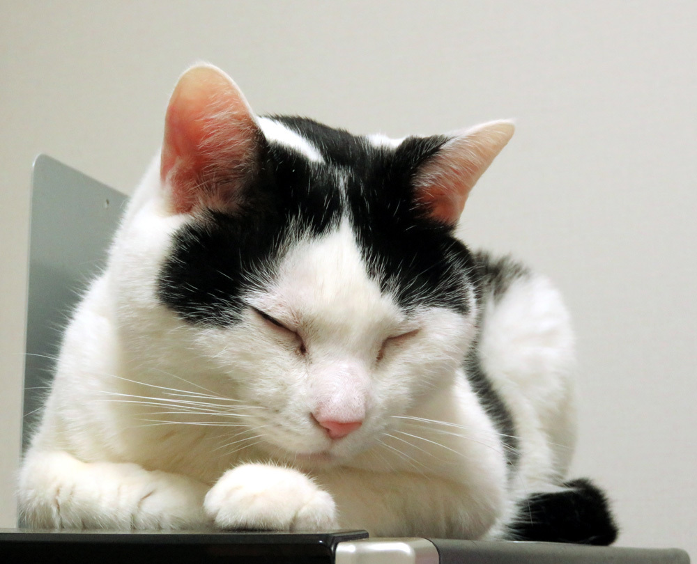 眠る猫ちっぷ