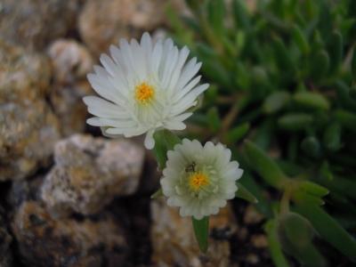 デロスペルマhb白花20170415