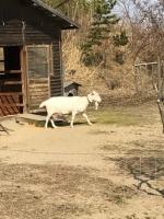 GoatOfHerberry