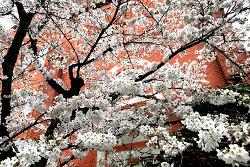 啓明館と桜