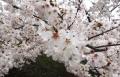 2017桜 (2)