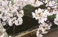 2017桜 (3)