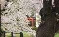2017桜 (4)