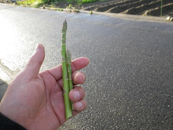 アスパラ収穫17_04_18