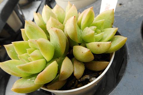 多肉植物の黒点