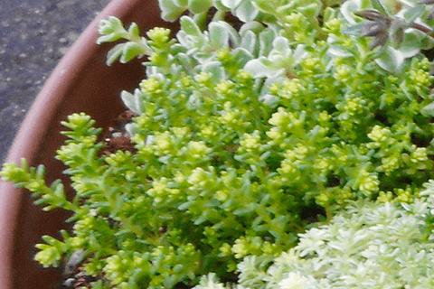 多肉植物アクレ