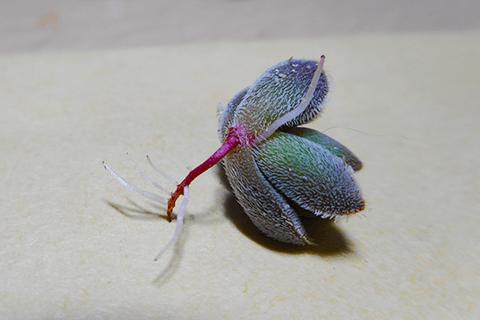 多肉植物レモータ