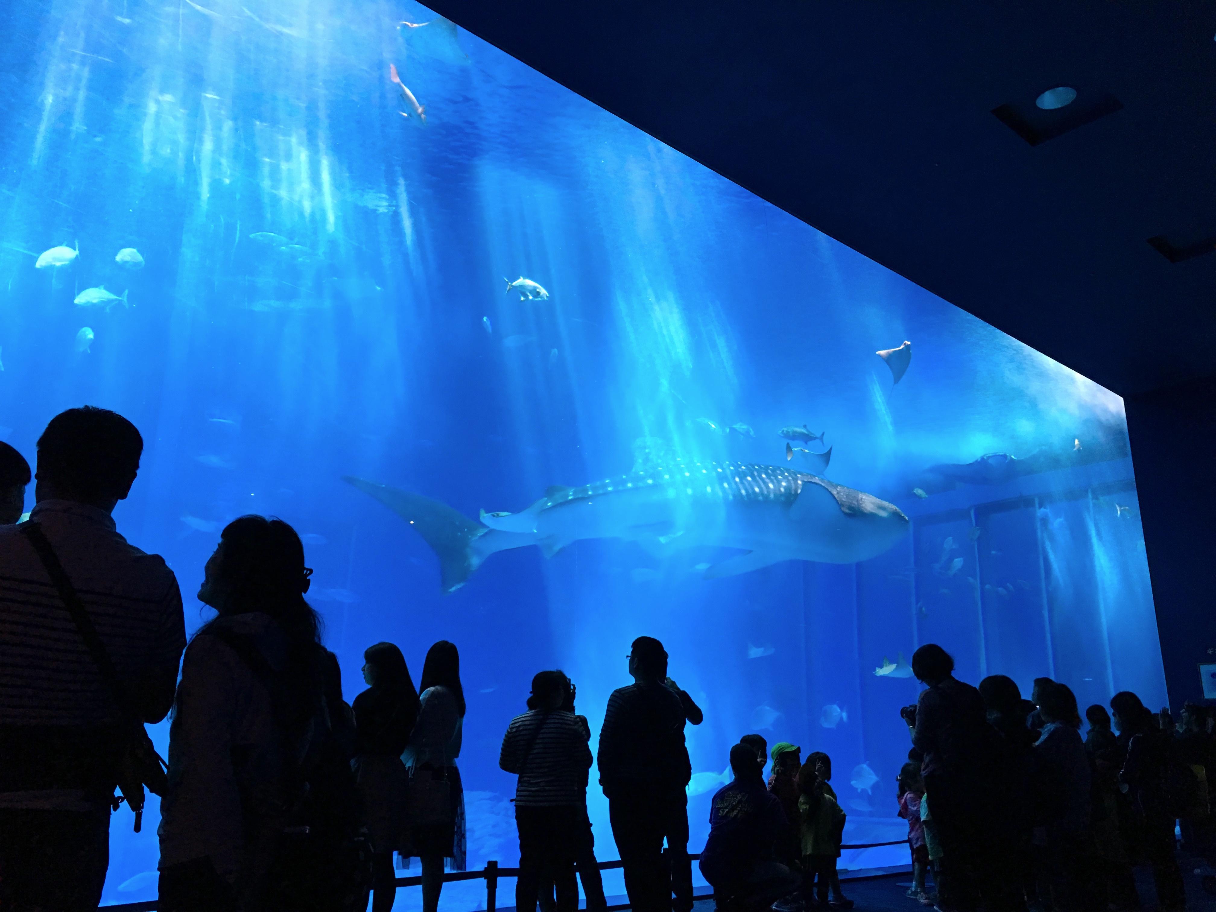 20170222美ら海水族館ジンベイ鮫