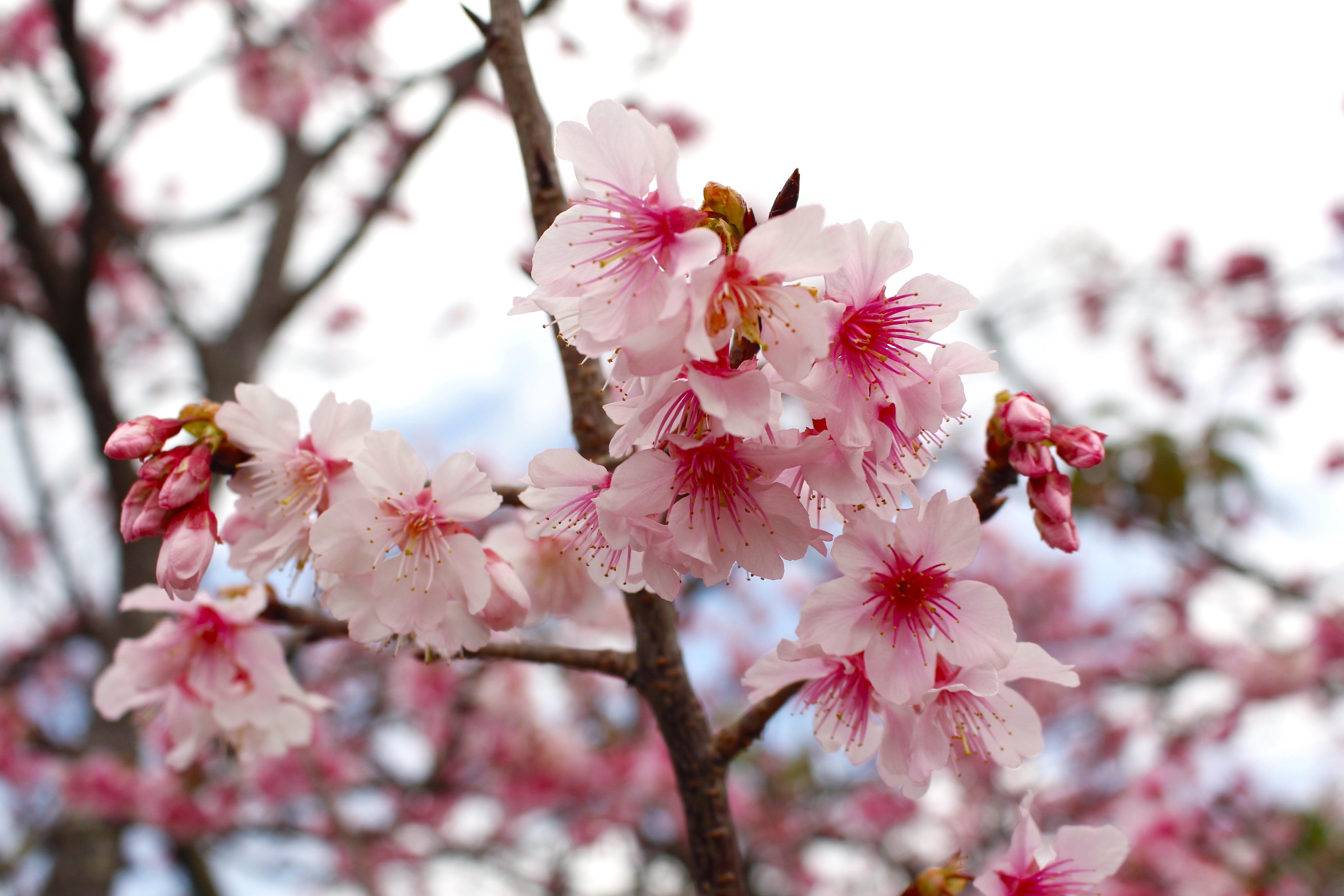 20170222桜
