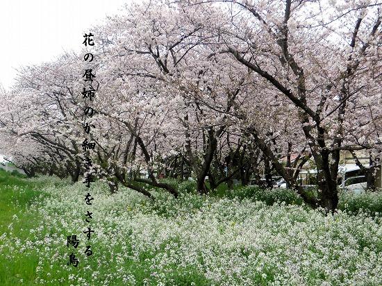大分川河口の桜