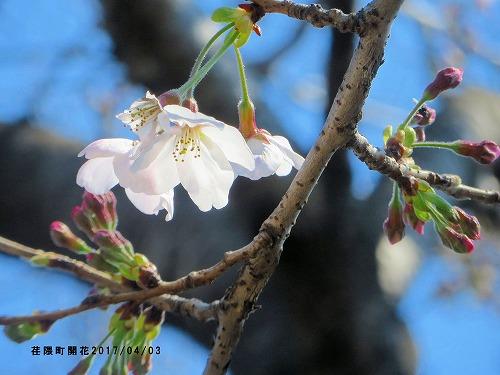 荏隈町開花宣言