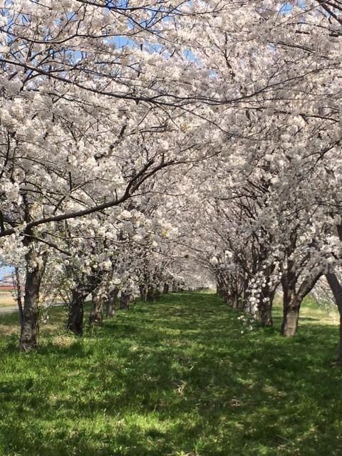 桜ロード (2)