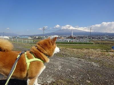 富士山と柴犬2