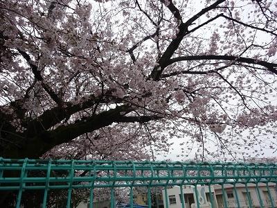 2017.4.10 小学校の桜