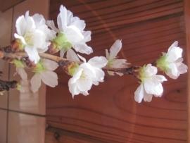 室内桜開花IMG_7359
