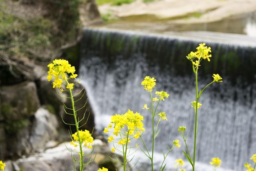 泉河内川と菜の花2