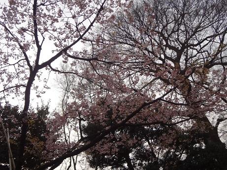 日本庭園の桜