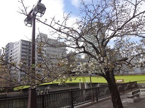 運河沿いの桜