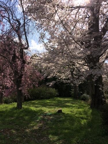 御土居の桜2