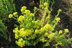 2-20摘んだ菜の花