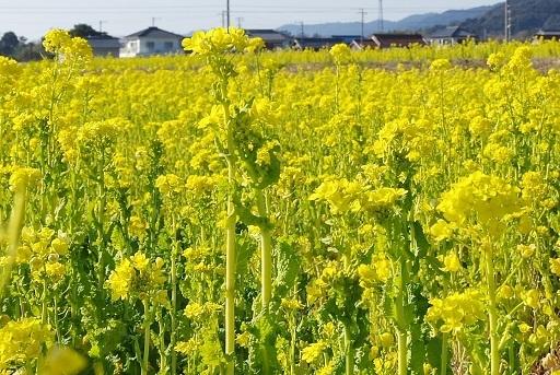 2-20菜の花①
