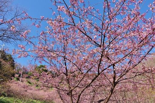 3-210日前の桜