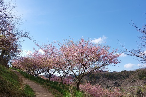 3-2丘の上の桜