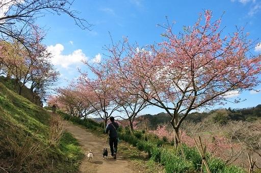 3-2パパふるうた桜①