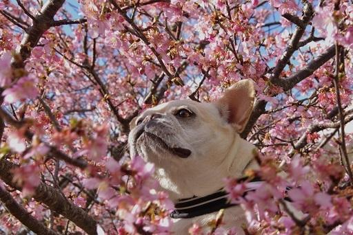 3-2うた桜③